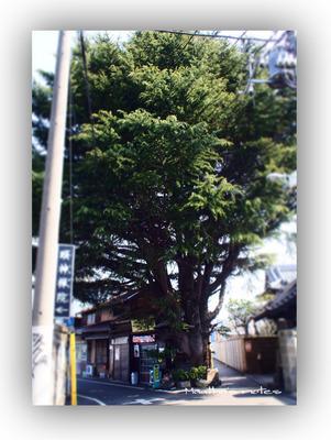 201403谷中ヒマラヤスギ