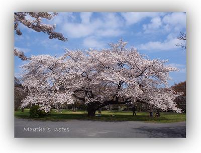 小石川植物園ソメイヨシノと花見客201404
