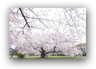 小石川植物園桜201604no1